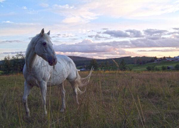 Canis HästKrafter